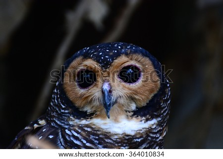 The Black Eye Colors of Owls  - stock photo