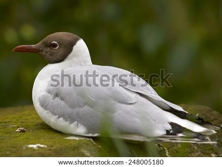 The black-headed gull (Chroicocephalus ridibundus) - stock photo