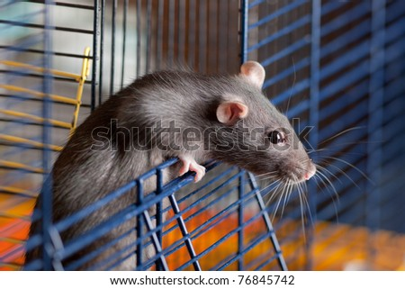The black house rat looks out of a cage