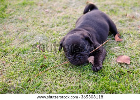the black pug dog lying to bite branch on the grass.