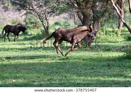 The black wildebeest or white-tailed gnu (Connochaetes gnou) running in the green forest. Namibia, Africa