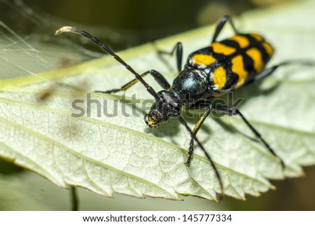 The blackspotted pliers support beetle (Rhagium mordax) - stock photo