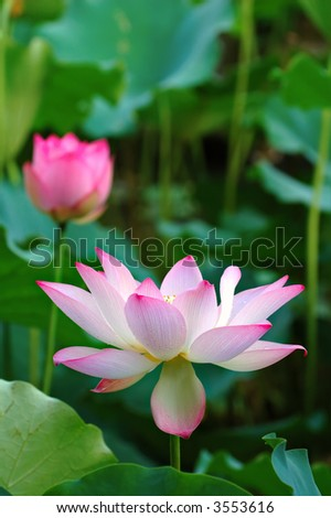 The blooming of lotus flower with the background of green leaves - stock photo