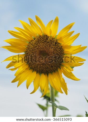 the blooming sunflower shining time for the sun
