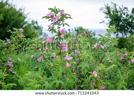 Blooming wild rose bush pink flowers stock photo royalty free the blooming wild rose bush with pink flowers in green field in summer mightylinksfo