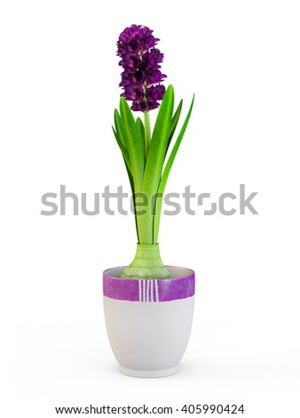 The blossom hyacinth in nice purple pot isolated on white background. 3D Rendering, 3D Illustration. - stock photo