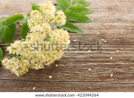 The blossom mountain ash (rowanberry) - Sorbus aucuparia - closeup; shallow depth of field