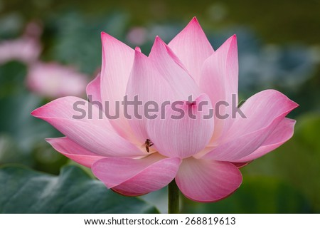 The Blossom of Pink Lotus with The Bee. The Bee find the flower based on the aroma of flower
