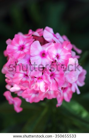 the blossomed flowers of a pink phlox against a dark background