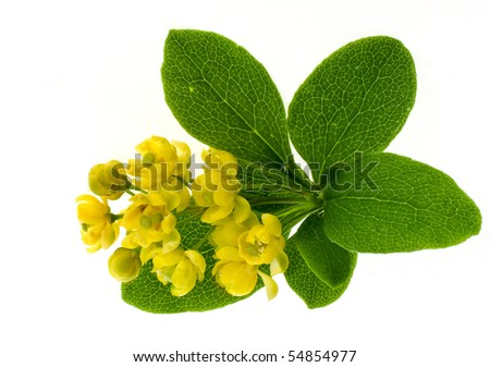 The blossoming branch of a barberry isolated on white background - stock photo
