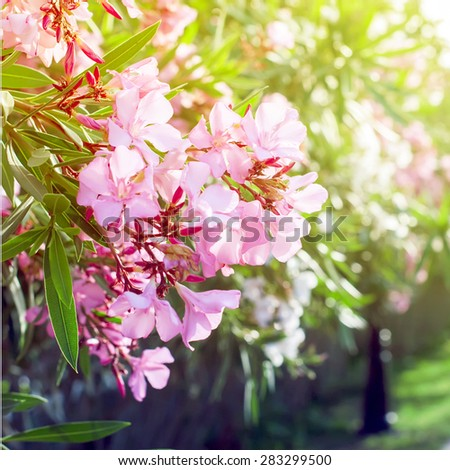 The Blossoming Bush in the Pink Flowers in Sunshine. Spring landscape - stock photo