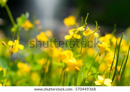 The blossoming chelidonium flowers at the bright sunlight. - stock photo