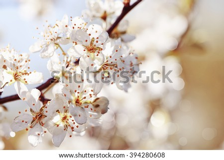 The blossoming cherry in a sunlight in the spring. - stock photo