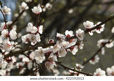 The blossoming cherry tree