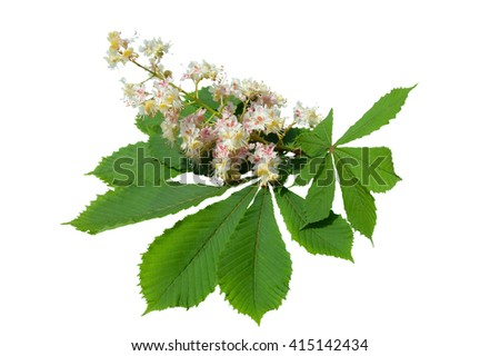 the blossoming chestnut of pink color isolated on a white background - stock photo