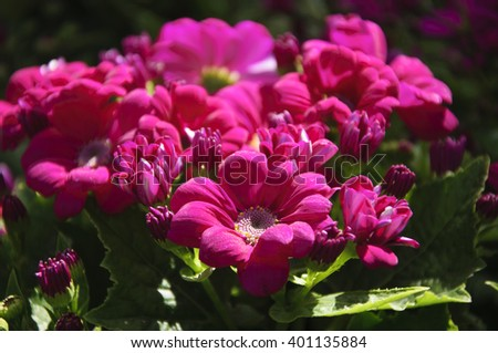The blossoming cineraria flowers in spring