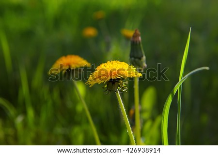 The blossoming dandelions on a spring glade