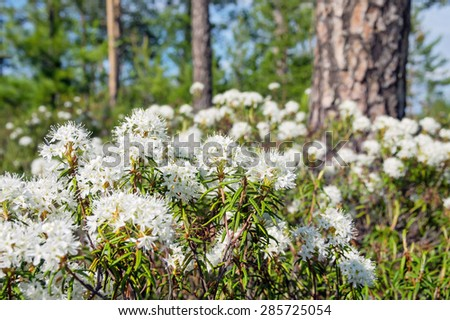 The blossoming Labrador tea in the solar summer wood - stock photo