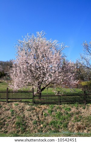 The blossoming of an almond-tree.