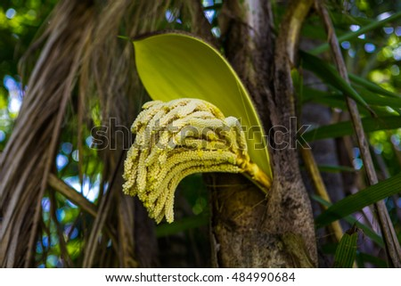 Blossoming palm trees yellow flower yellow stock photo 484990684 the blossoming palm trees yellow flower yellow palm tree flower a botanical family mightylinksfo Gallery
