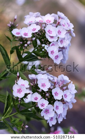 The blossoming white phlox with the crimson center. Flower vegetable background  vertically.