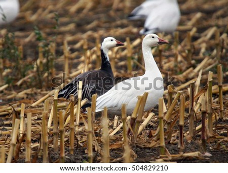 The blue and white morphs or colors of snow geese, Chen caerulescens