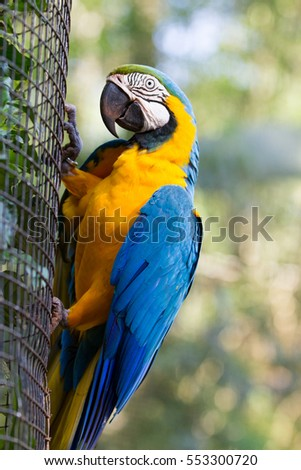 The blue-and-yellow macaw (Ara ararauna), also known as the blue-and-gold macaw