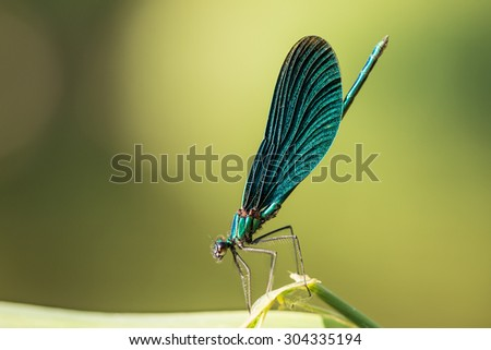 the blue dragonfly sits on a grass - stock photo