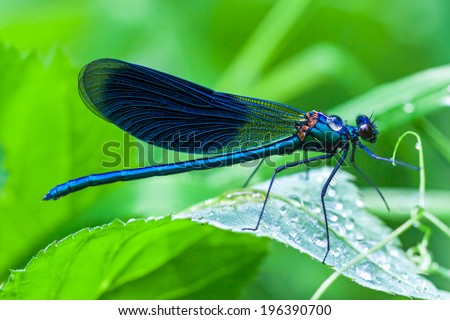 the blue dragonfly sits on a grass on a meadow - stock photo