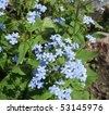 The blue flowers of Brunnera - stock photo
