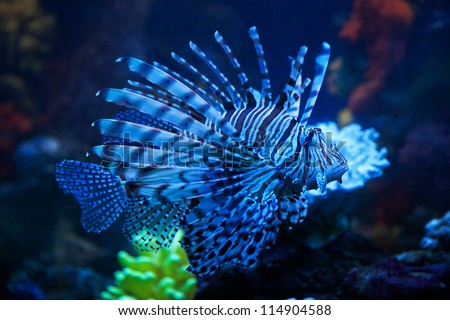 The blue lionfish in the sea aquarium - stock photo