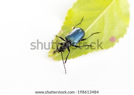 The blue metallic beetle Gaurotes virginea - stock photo