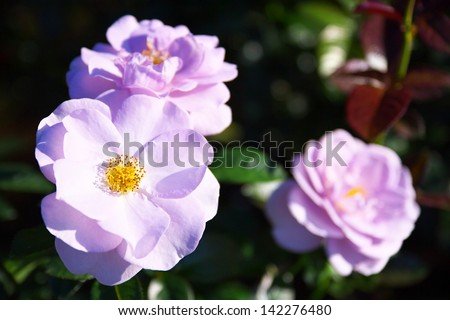 301 moved permanently - What are blue roses called ...