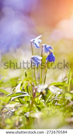 The blue snowdrop blossoming at the beginning of spring - a Scilla Siberica - stock photo