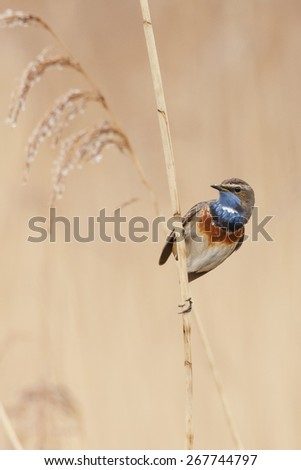 The bluethroat (Luscinia svecica) perched on a twig