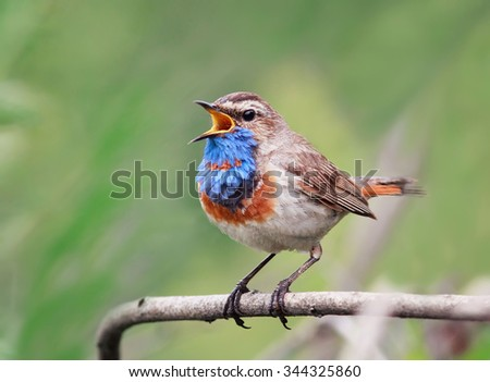 the Bluethroat with the blue breast sings on a branch
