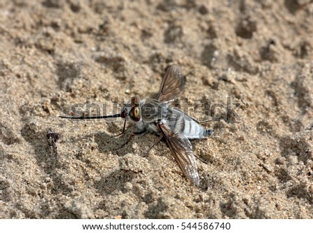 The Bombyliidae are a family of flies. Their common name is bee flies. Adults favour sunny conditions and dry. They have powerful wings and are found typically in flight over flowers