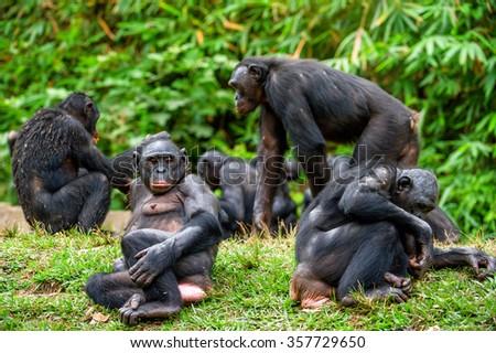 The Bonobo ( Pan paniscus) family, called the pygmy chimpanzee. Democratic Republic of Congo. Africa  - stock photo