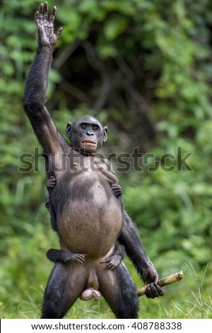 The Bonobo ( Pan paniscus)  mother with cub standing on her legs and hand up.  Short distance, close up. Democratic Republic of Congo. Africa  - stock photo