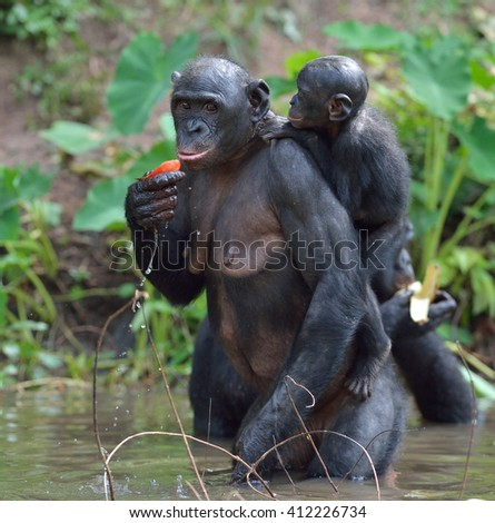 The Bonobo ( Pan paniscus) standing on her legs in water with a cub on a back. Democratic Republic of Congo. Africa - stock photo