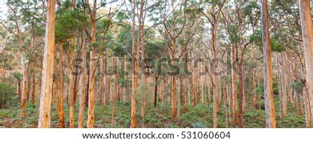 The Boranup Karee Forest  near the town of Margaret River, Western Australia.