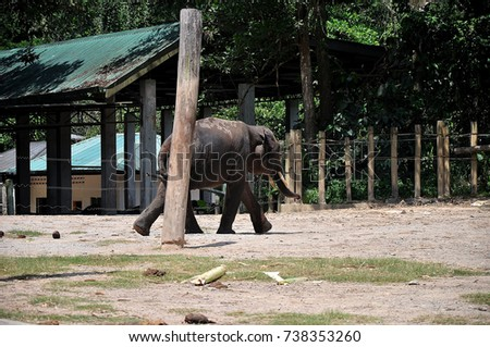 The Borneo Pigmy Elephant the largest land mamal in Borneo.