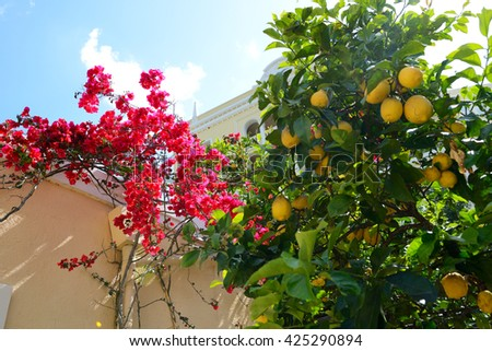 The Bougainvillea and lemon tree with yellow lemons, Corfu, Greece