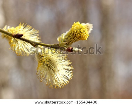 The branch of a blossoming willow close-up