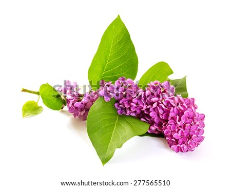The branch of blooming lilacs isolated on white background. - stock photo
