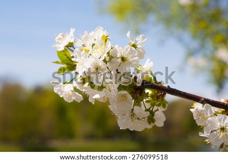 The branch of blossoming apple tree - stock photo