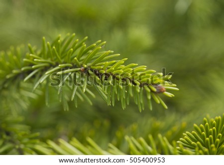 The branch of green pine tree with green background