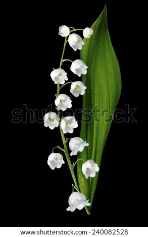 The branch of lilies of the valley flowers isolated on black background - stock photo