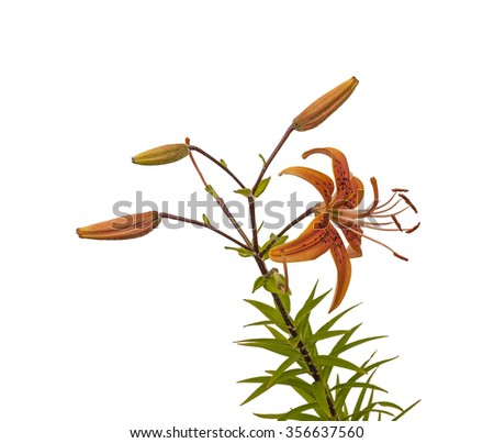 The branch of orange  lilies Asian hybrids with buds and a blossoming flower on a white background isolated - stock photo