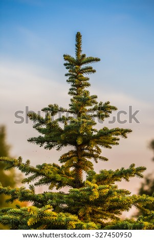 The branch of spruce and pine cone - stock photo